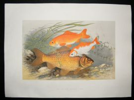 Houghton 1879 Folio Antique Fish Print Golden & Bronze Carp
